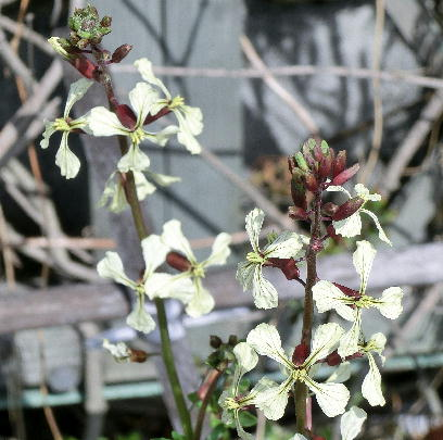 130319-お隣の花-2