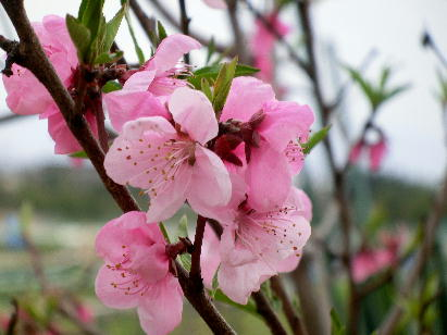 130403-公園の花桜だか何だか-4