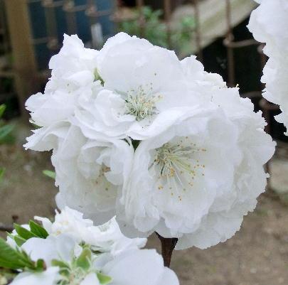 130403-公園の花桜だか何だか-3