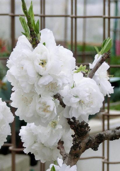 130403-公園の花桜だか何だか-2