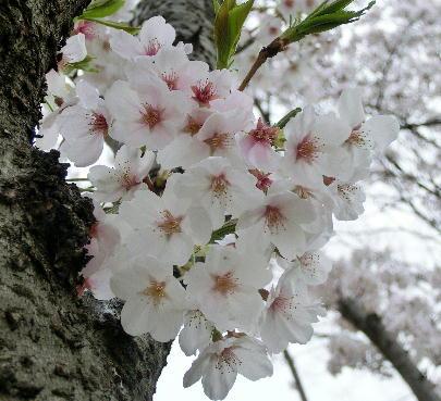 130404-公園の桜-7