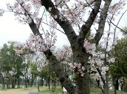 130404-公園の桜-6