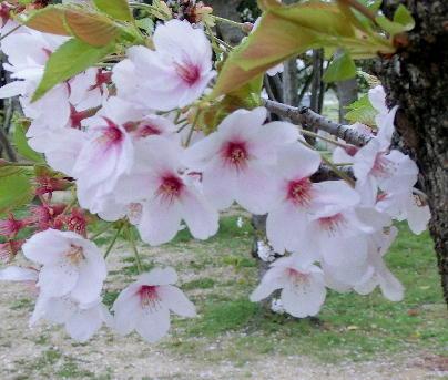 130404-公園の桜-5