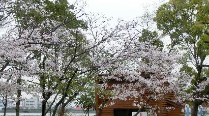 130404-公園の桜-2