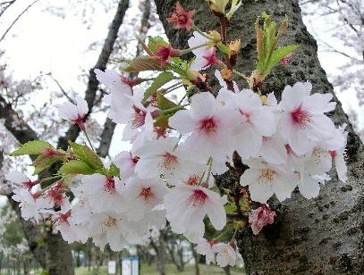 130404-公園の桜-4