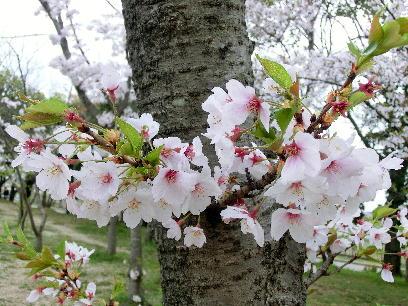 130404-公園の桜-3