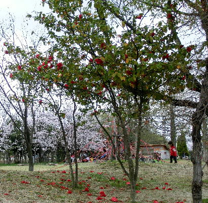 130403-椿 唐子咲き-1
