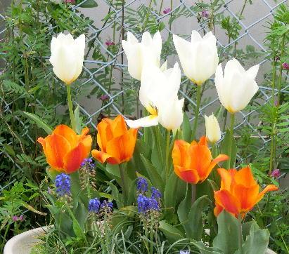 130403-船戸池公園の花チューリップ-4