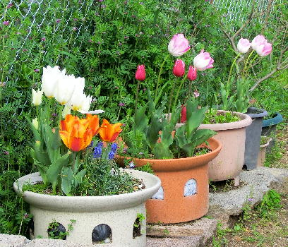 130403-船戸池公園の花チューリップ-2