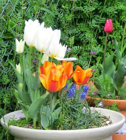 130403-船戸池公園の花チューリップ-3