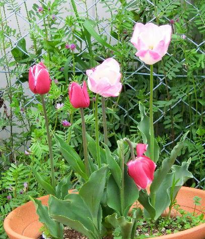 130403-船戸池公園の花チューリップ-1