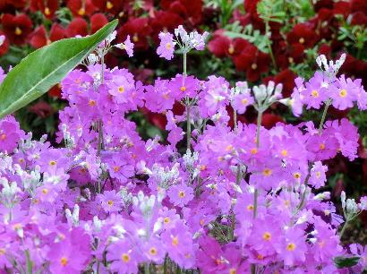 130403-船戸池公園の花-3