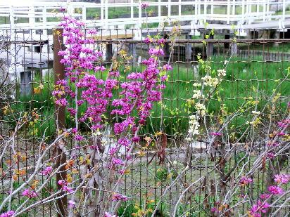 130403-船戸池公園の花-4