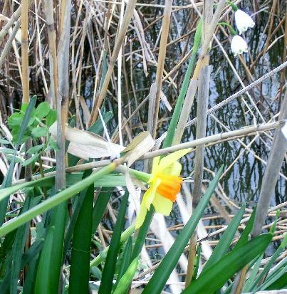 130403-船戸池公園の花水仙-1