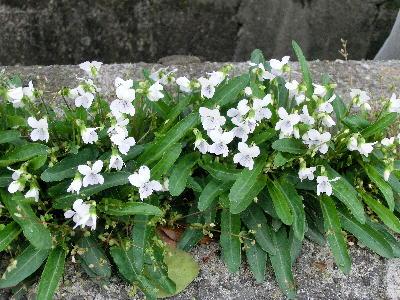 130404-散歩道の花-7