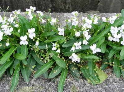 130404-散歩道の花-8