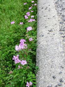 130404-散歩道の花-2