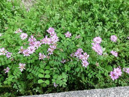 130404-散歩道の花-1