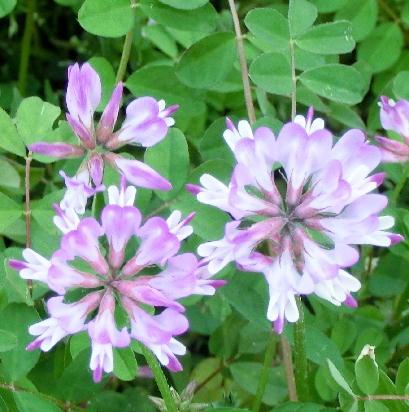 130404-散歩道の花-4
