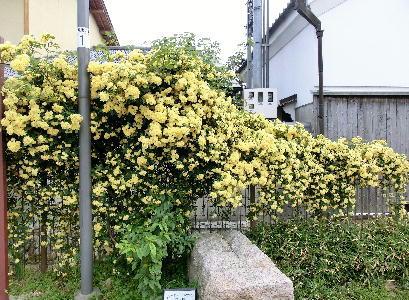 130513-公園の花-1