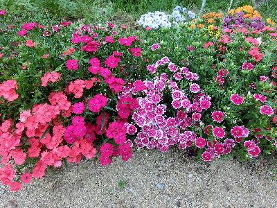 130513-公園の花-3