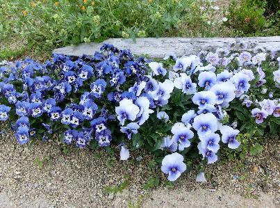 130513-公園の花-4