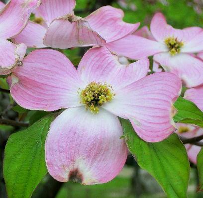 130513-公園の花-花水木-3