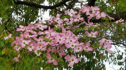 130513-公園の花-花水木-1