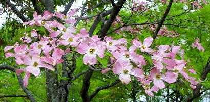 130513-公園の花-花水木-2