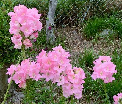 130514-公園の花-金魚草-5