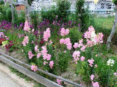 130514-公園の花-金魚草-1