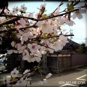幼稚園の桜、満開