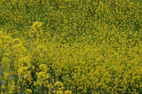 春 菜の花
