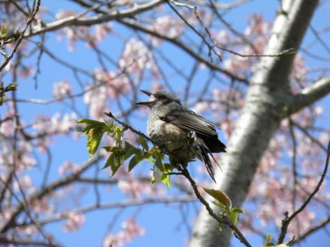 桜ヒヨドリ2