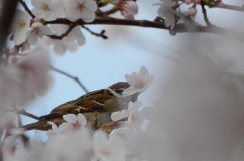 桜スズメ1