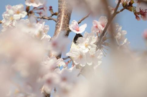 桜スズメ2