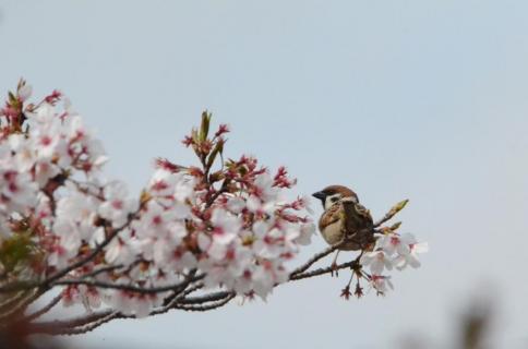 桜スズメ11