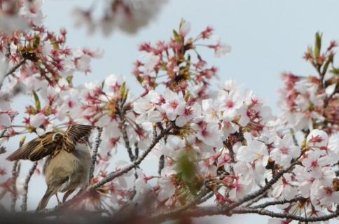 桜スズメ10