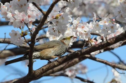 桜ヒヨドリ1