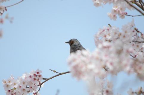 桜ヒヨドリ3