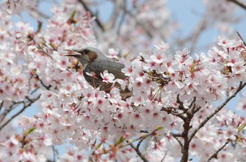 桜ヒヨドリ5