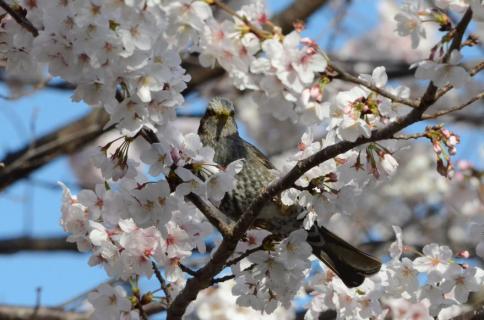 桜ヒヨドリ4