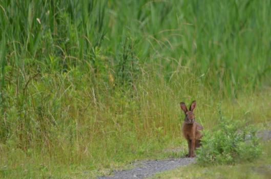 遊水地のウサギ1