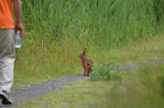 遊水地のウサギ2