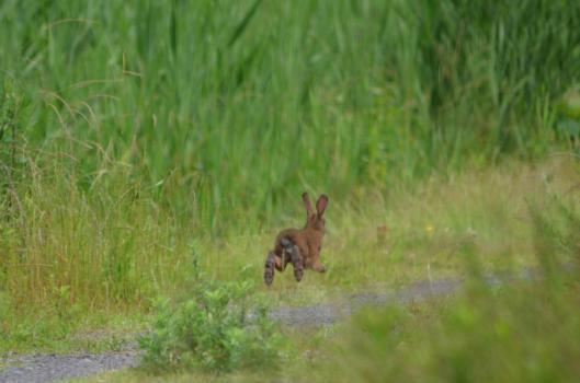 遊水地のウサギ3