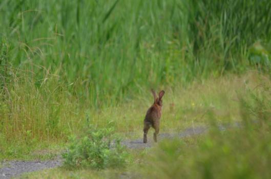 遊水地のウサギ4