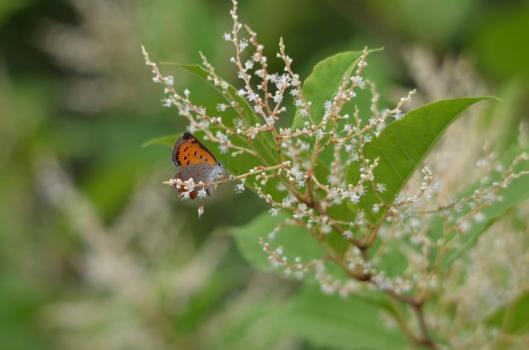 遊水地の蝶2