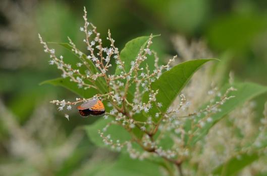 遊水地の蝶4