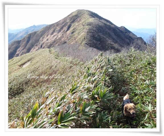 登山犬ララ201412