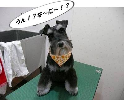 チャッピーちゃん11月3日-s